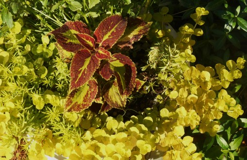 Coleus, creeping Jenny, and sedum love the hot sun they enjoy in this pot near the house.