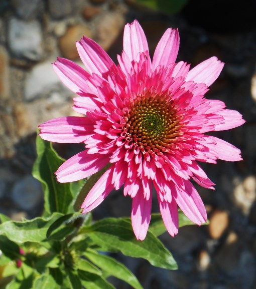 "This lovely Echinacea did not make the cut.... ""deer candy."""