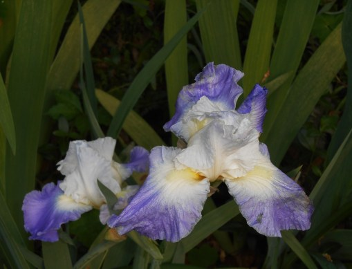 "German Iris, ""Stairway to Heaven"""