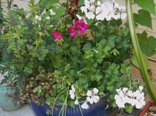 This large pot of Geraniums also supports Moonflower vines on a trellis.  This pot hasnt' moved in the four years since we placed it here.