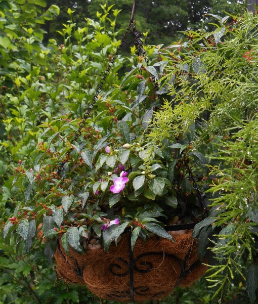 This simple, neat basket features a Fuschia, just coming into bloom, and impatiens.