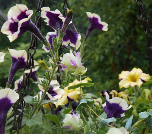 "Petunias with ornamental Oregano, ""Kent Beauty."""