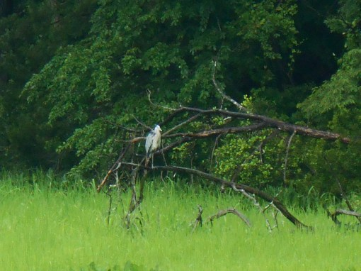 Great Blue Heron on the bank of Halfway Creek