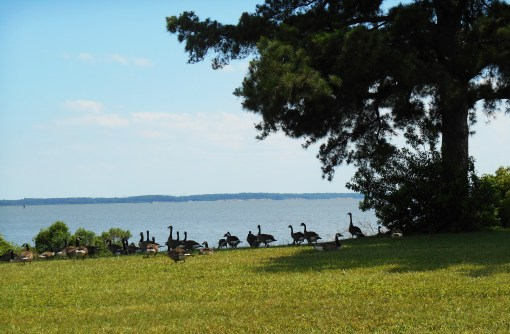 Canada Geese gathered on the bank of the James River today.