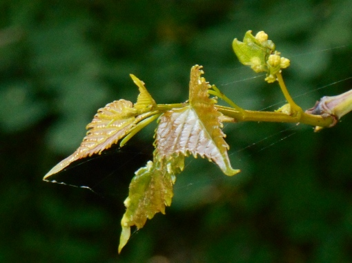 Wild grape vine found growing along the Colonial Parkway