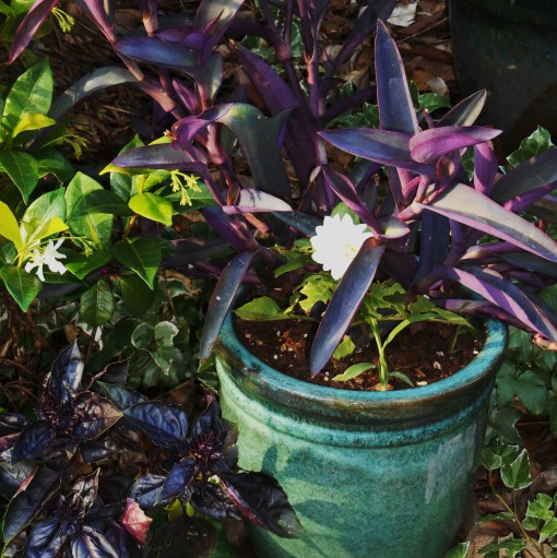Dahlia and Purple Heart, Tradescantia pallida, grow near purple basil and a Jasmine vine.