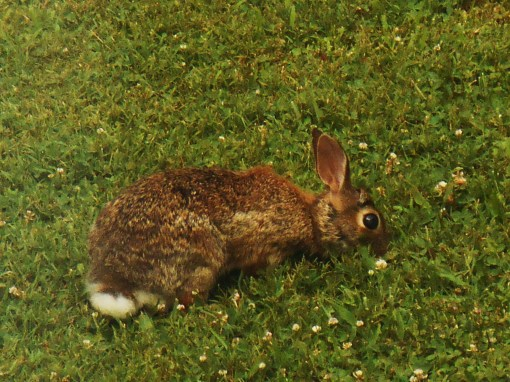 This rabbit is a frequent guest in our garden, relaxing on our lawn like a pet.  I've only found him eating grass and clover.