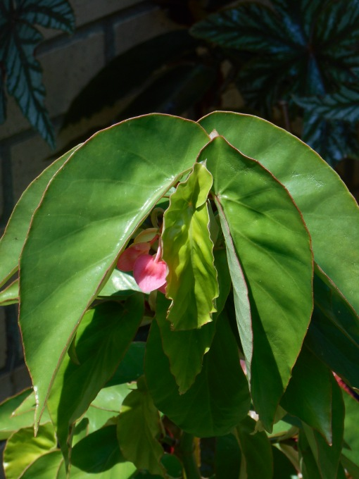 """This is Begonia, """"Flamingo"""" coming into its first flush of blooms this summer."""