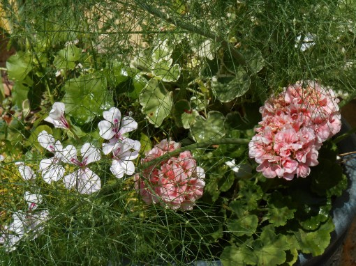 Geraniums and Fennel.  Fennel, Dill, and Asparagus fern all give a large, airy cloud of foliage to a pot.