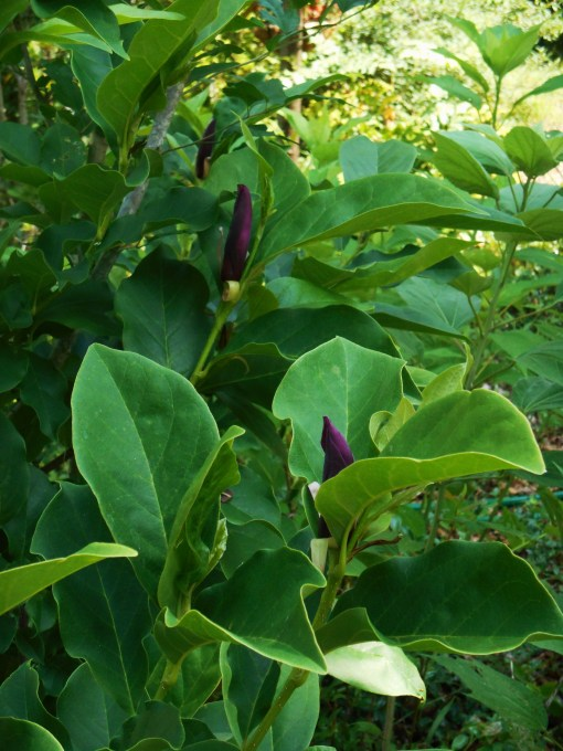 Asian Magnolia generally blooms in early spring, before the leaves come out.  This shrub is ready to bloom a second time.  The photo was taken this morning.