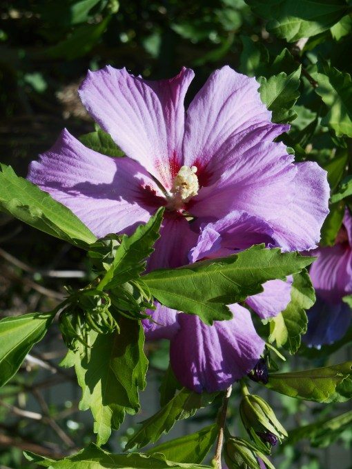 Our Rose of Sharon shrubs have burst into blossom this week, a sure sign of summer.