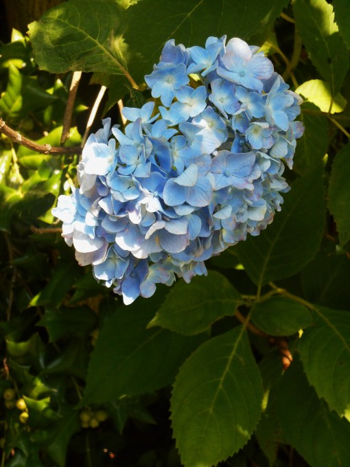 Hydrangea Macrophylla always speaks of summer to me.  It has been a favorite since I was a small child.