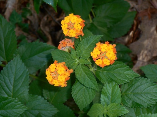 "This Lantana is blooming for its third season here.  It survived our winter.  Here, Lantana, ""Miss Huff"" which is hardy to Zone 7."