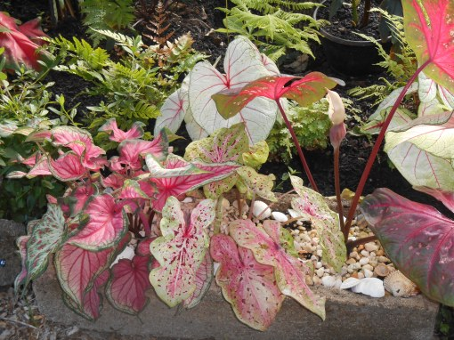 Sometimes it works to have several of the same plant growing together in a pot. Here, several cultivars of Caladium share the space.