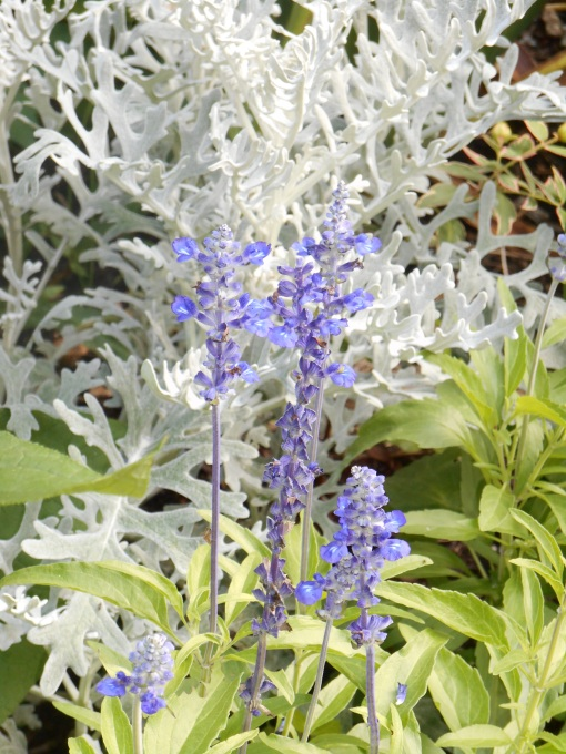 A perennial sage grows here with Dusty Miller.  Both have gone untouched for several years in our garden.