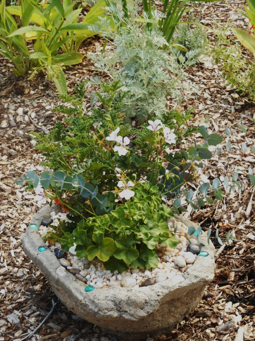 Ivy geraniums (white flowers) and a rose scented Pelargonium share this pot with Eucalyptus.  Artemisia grows behind the pot.  All are scented and distasteful to deer.