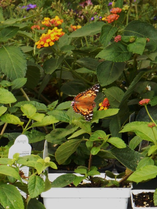 Lantana always attracts butterflies and hummingbirds.  Drought tolerant, it grows into a small shrub and blooms until frost in full sun.