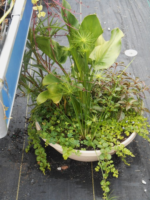 These aquatic or bog arrangement is also at Homestead Garden Center for sale today.