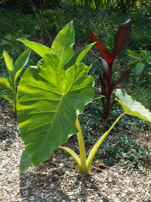 Colocasia Esculenta, purchased as a tuber from Easy To Grow Bulbs this March.
