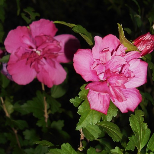 June 27, 2014  garden at dusk 019