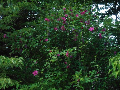 June 27, 2014  garden at dusk 021