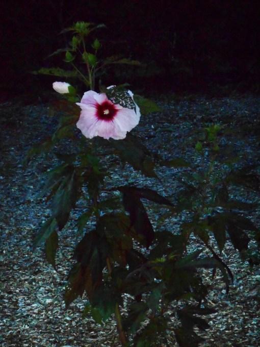June 27, 2014  garden at dusk 033