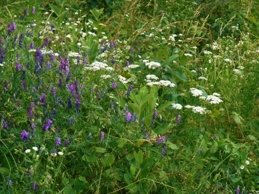 White Achillea just coming into bloom among the daisies and purple milk vetch.