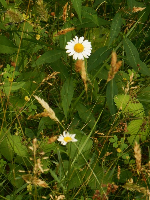 "These wild daisies have ""almost orange"" centers...."
