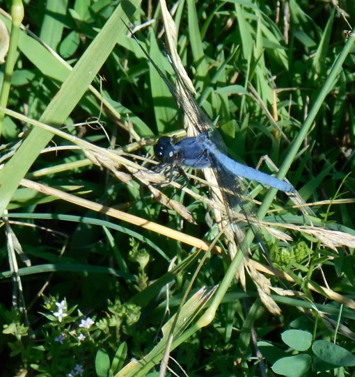 June 5, 2014 dragonfly 016