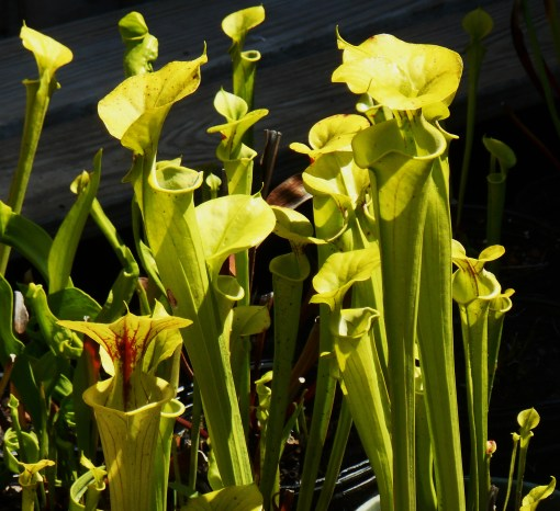 Pitcher Plants growing in the swamps around Jamestown were collected by John Tradescant the Younger around 1638.  It was difficult for English gardeners to keep them alive until they learned to grow them in pots of moss standing in water.