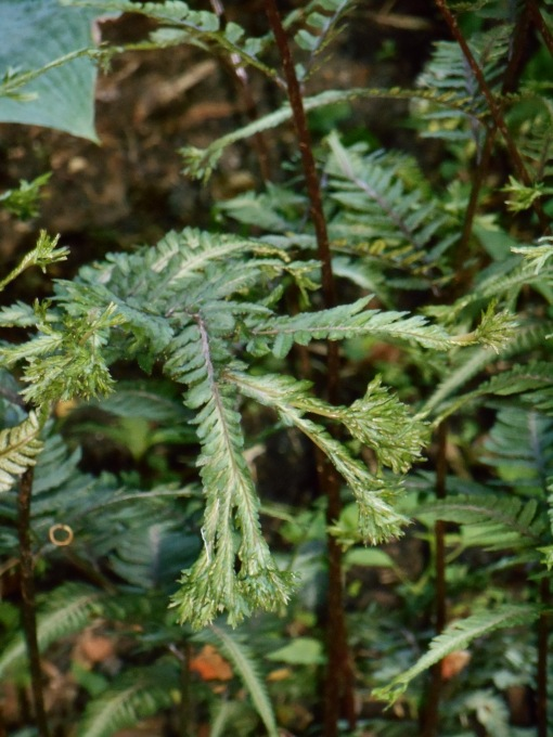 "Athyrium, a Japanese Painted Fern.  I believe this is an unusual cultivar known as ""Ocean's Fury"" and introduced in 2007.  This is a hardy deciduous fern."