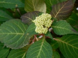 Lacecap Hydrangea ready to bloom