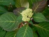 Lacecap Hydrangea ready to bloom