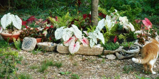 Our Caladium garden on June 7, 2014