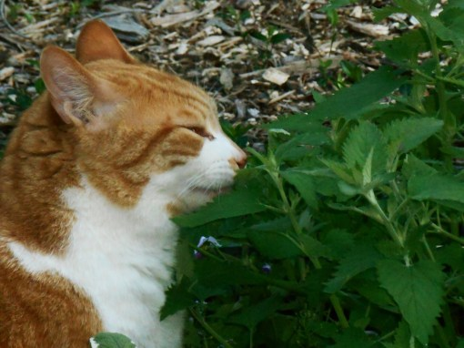 Our happy cat with his Catmint