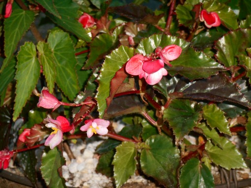 A hanging basket of various Begonias.  Richmondensis, in the foreground, is a tough Begonia which grows vigorously in baskets.