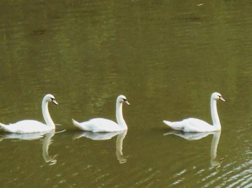 June 8, 2014 swans 010