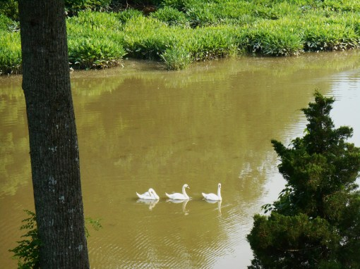 June 8, 2014 swans 011
