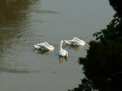 June 8, 2014 swans 015