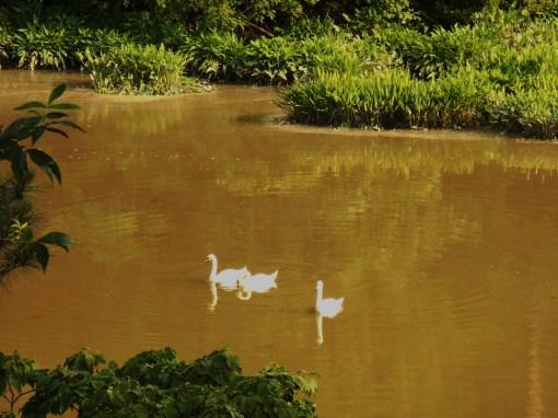 June 8, 2014 swans 017