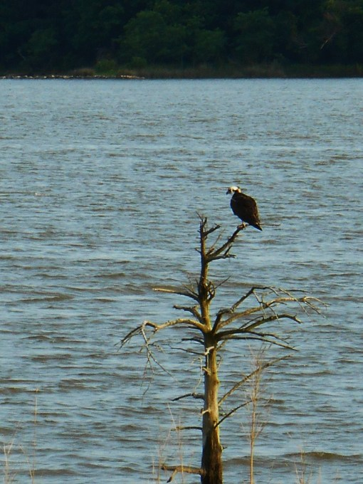 Osprey Eagle seen yesterday on the James River