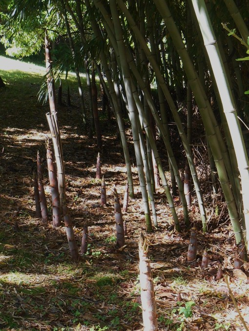 The march of the bamboo up the hill back  in early May.  We have had to control the growth up towards the garden.