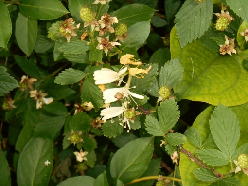 Honeysuckle and wild blackberries are both important food sources for wildlife.