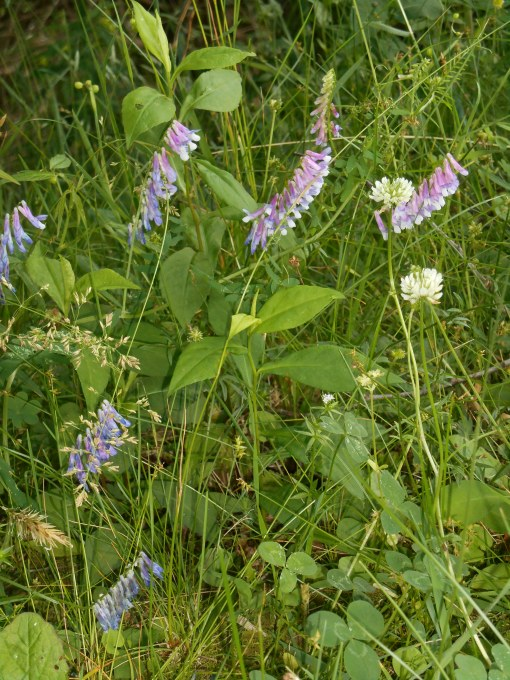 White clover growing with purple milk vetch and other wild flowers on the bank of a pond along the Colonial Parkway near Yorktown, Virginia.