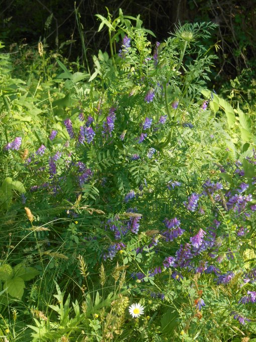 Purple milk vetch is one of the hundreds of members of the pea family.