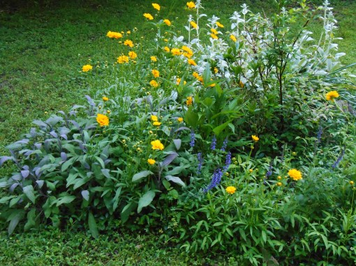 Two different Sages, Coreopsis, and Lamb's Ears currently star in this bed, which also holds daffodils, Echinacea, St. John's Wort, and a badly nibbled Camellia shrub.