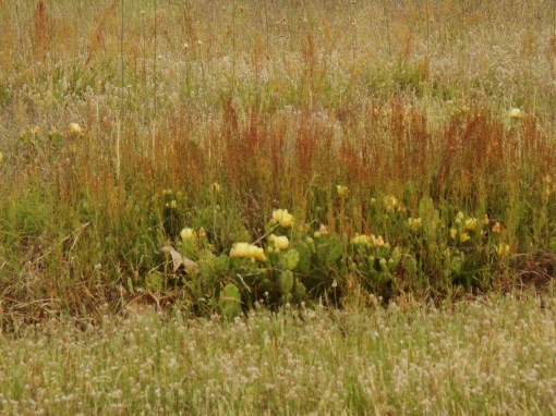 Prickly pear cactus growing in a field beside the Colonial Parkway with assorted grasses and Aliums.
