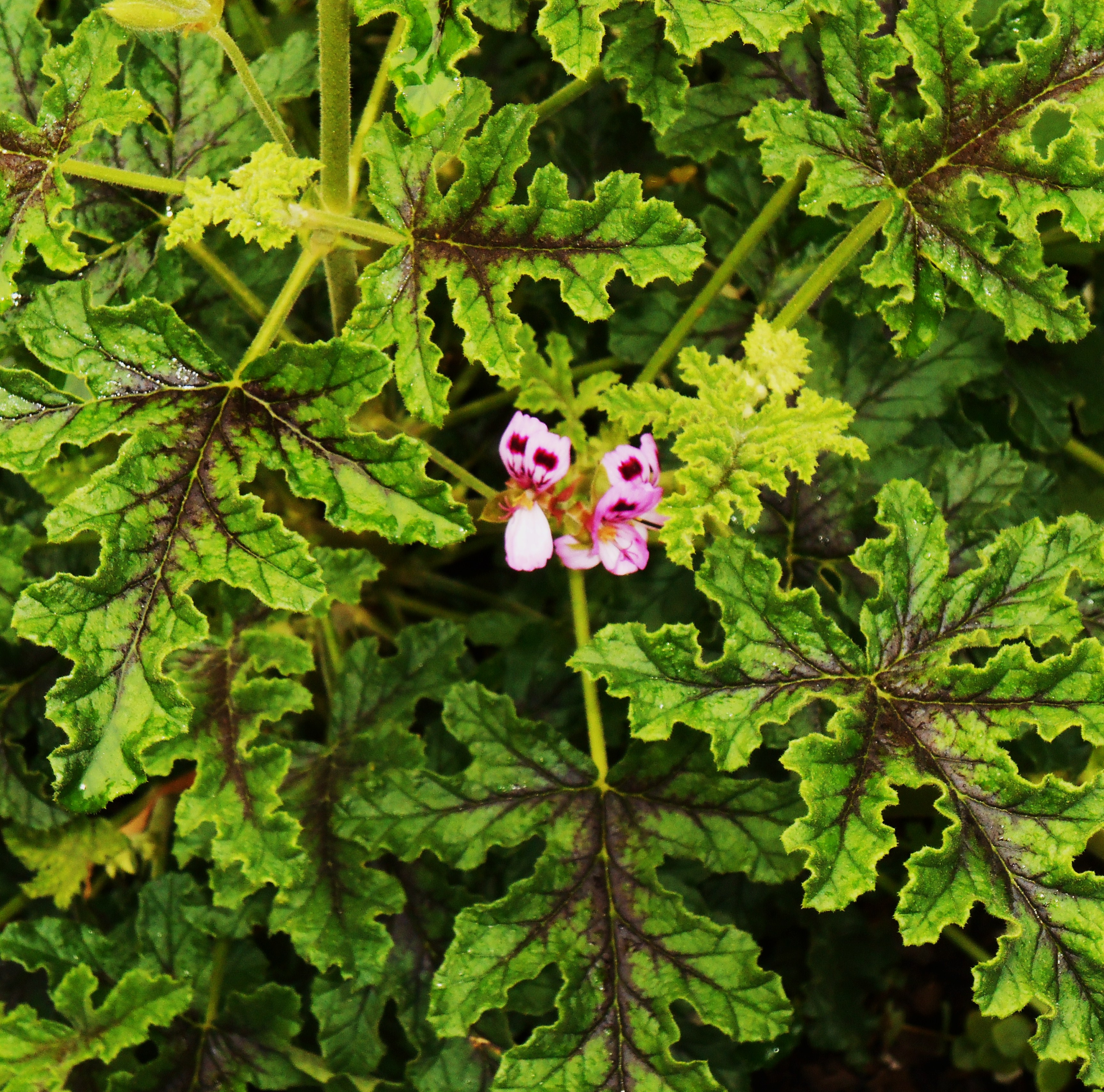 Remember to shop locally whenever possible.  Rose Scented Geranium.