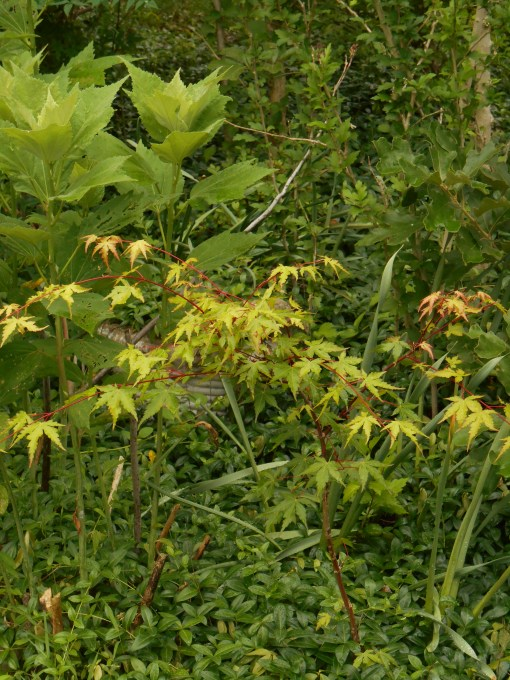 "A ""volunteer"" Japanese Maple grows in a mixed shrub and perennial border in our garden near perennial Hibiscus."