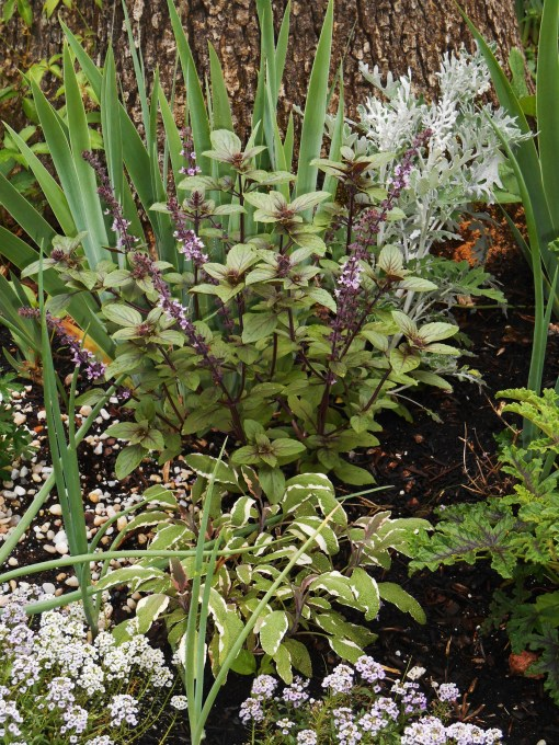 """Another view of the """"stump garden"""" planting.  Here African Blue Basil has begun to fill its summer spot."""